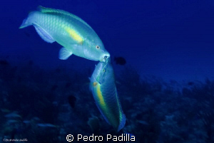 Parrot Fish Kissing!!